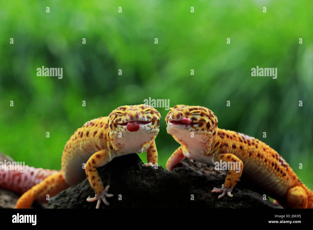 a pair of leopard geckos stick their tongues out for the camera