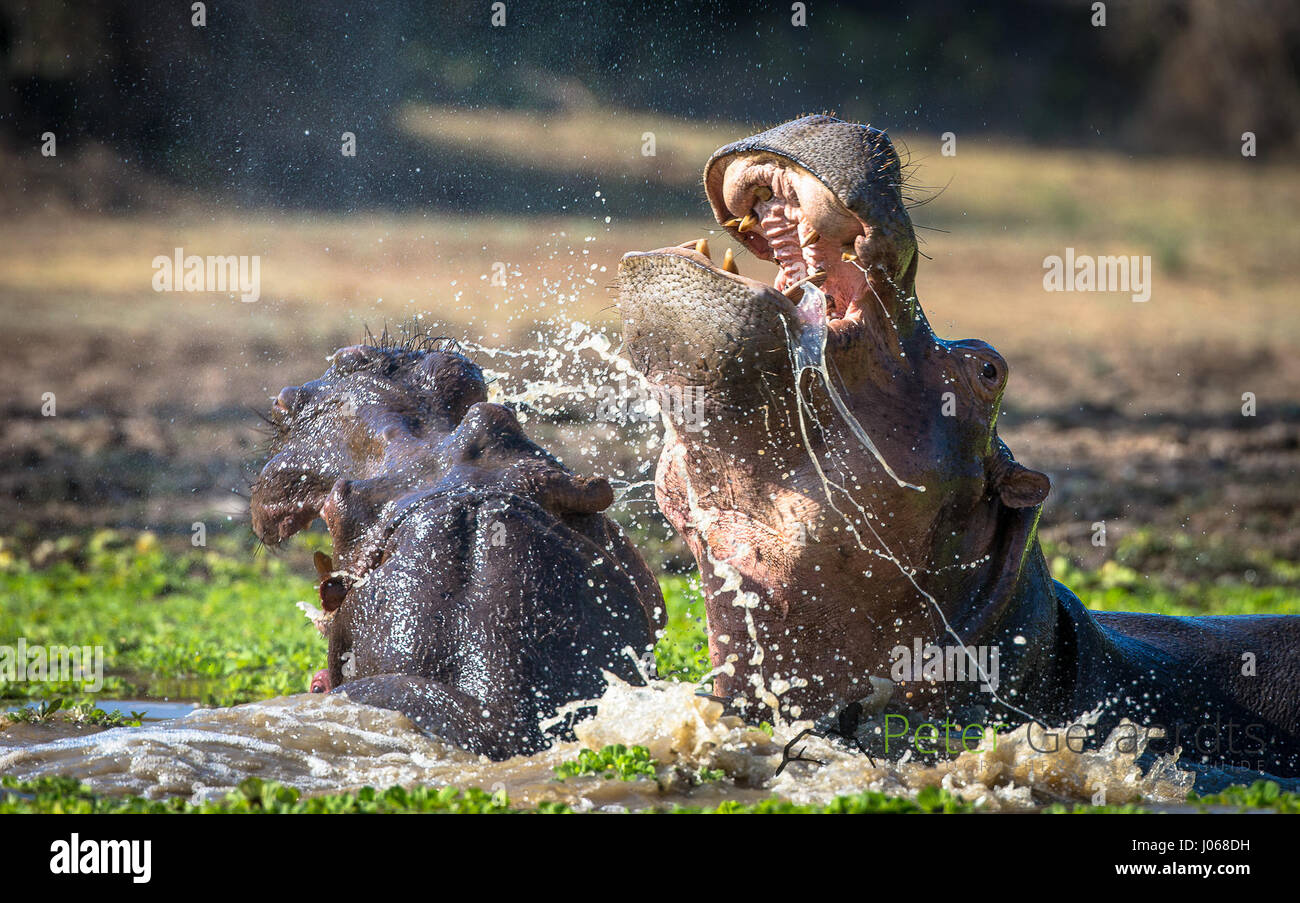 SOUTH LUANGWA, ZAMBIA: TWO huge hippos have been snapped fighting each other over water and space in an almighty - Stock Image