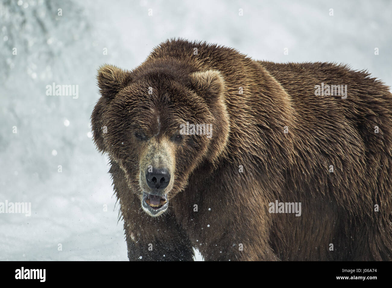 EXPLOSIVE pictures by a British photographer show a hungry brown bear feasting on the peak number of salmon now Stock Photo