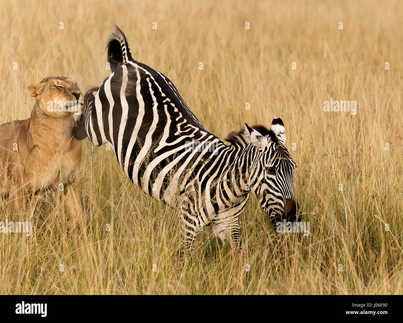 MASAI MARA, KENYA: REMARKABLE action photos have caught a hungry lioness taking down an unsuspecting zebra to the - Stock Image