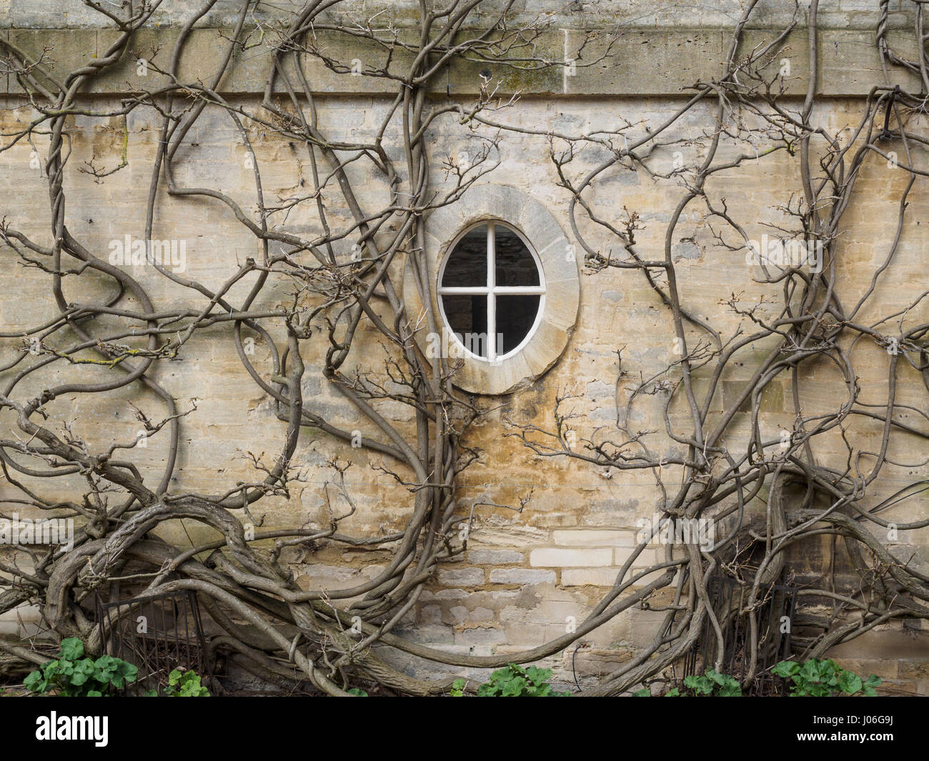 Old vine covered wall with window in Woodstock Oxfordshire - Stock Image