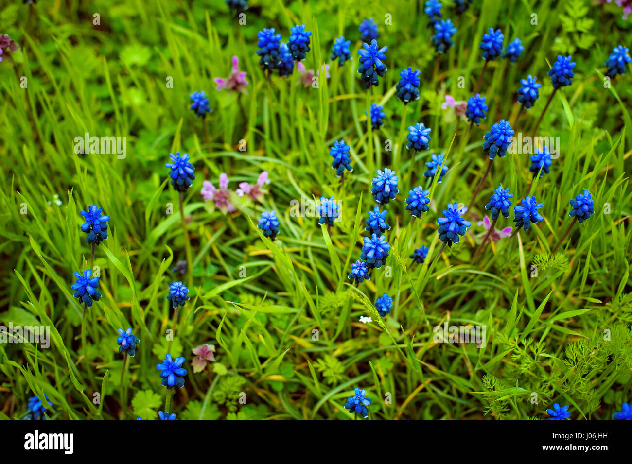 Blue flowers Muscari or murine hyacinth buds and leaves. - Stock Image