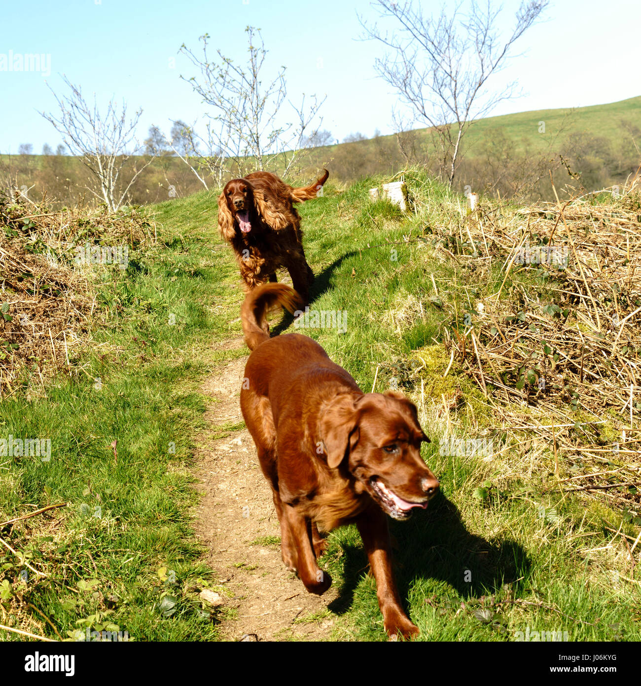 Two red setter dogs walking down a woodland path - Stock Image