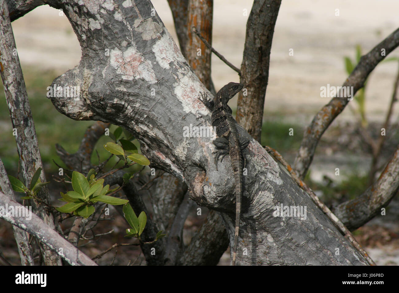 Lizard sunning on mangrove tree in  Belize - Stock Image