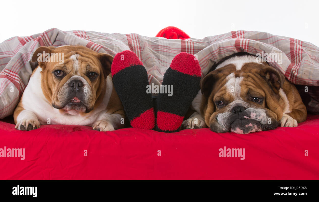 dogs in bed with santa - Stock Image