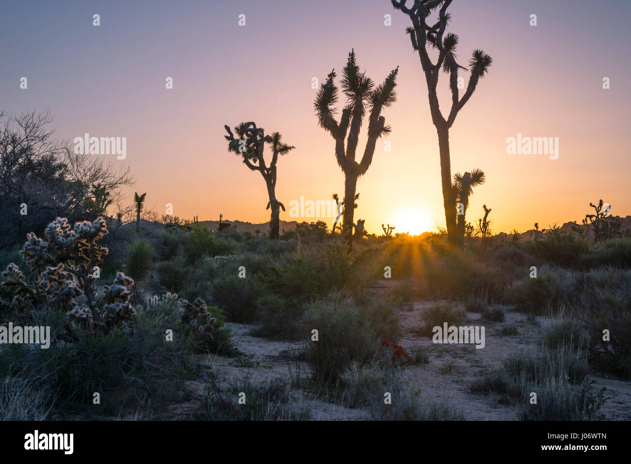 Joshua Trees and desert landscape at sunrise. Joshua Tree National Park, California, USA. - Stock Image