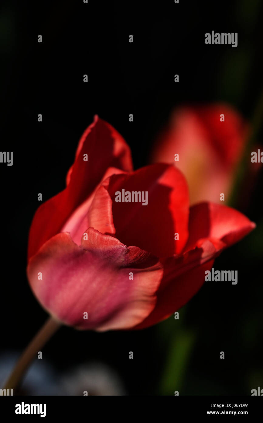 Pink Red TUlip - Stock Image