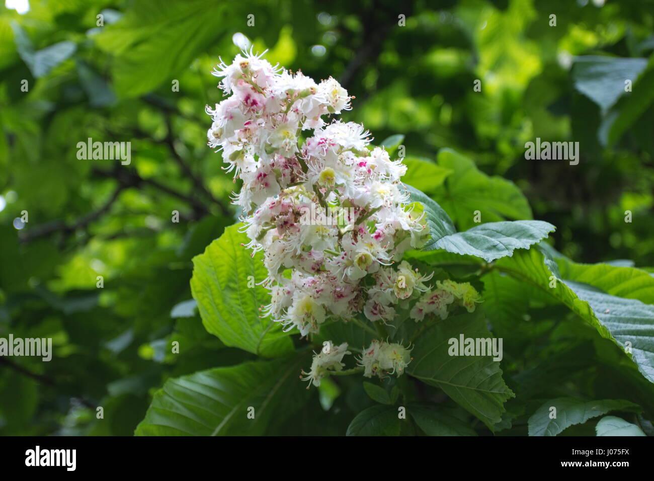Aesculus Hippocastanum Horse Chestnut Stock Photos ... - photo#36