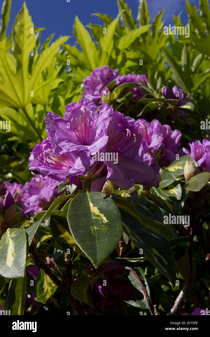 Rhododendron Molton Gold - Stock Image