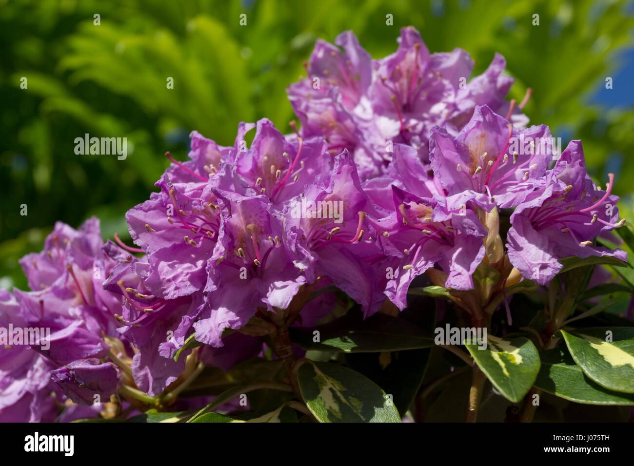 Rhododendron Molton Gold Deep pink flower - Stock Image