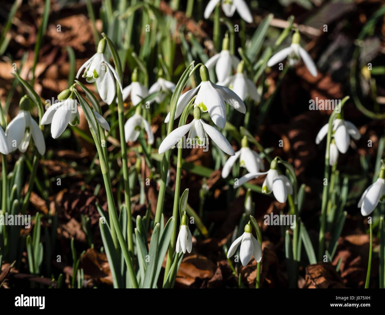 Snowdrops growing in churchyard in Yorkshire UK - Stock Image