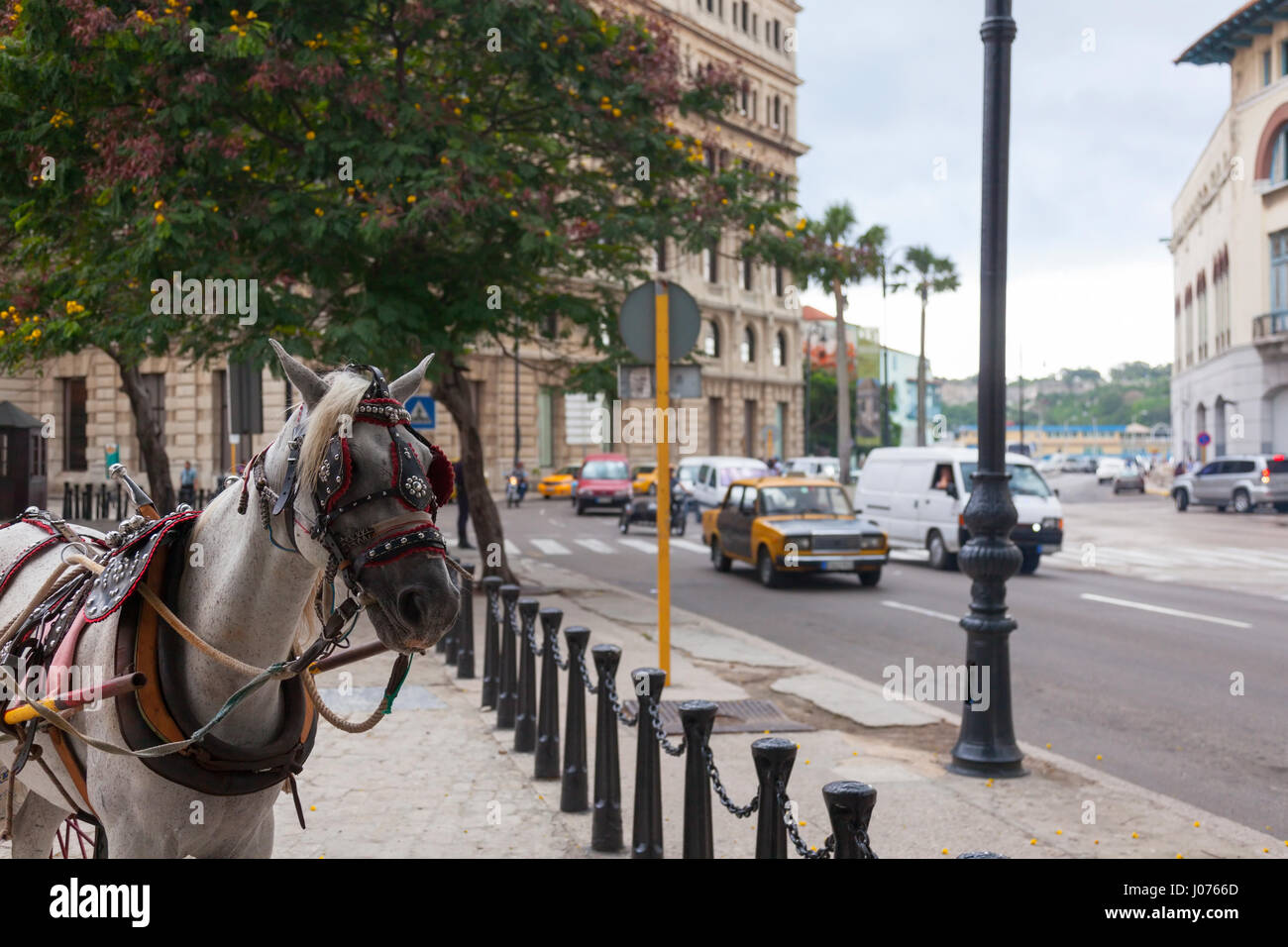 A horse Equus ferus caballus wearing a harness to pull a wagon at Plaza de San Francisco with cars driving by along - Stock Image