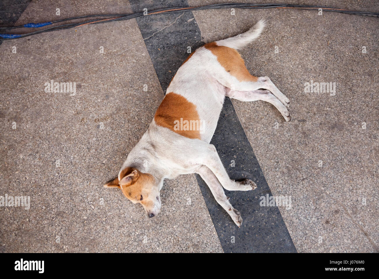 A Canis familiaris (dog) laying on a sidewalk in Old Havana, Cuba. - Stock Image