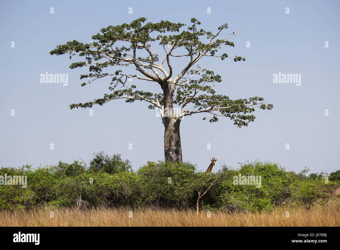 Giraffe under the shadow of a baobab at Kissama National Park – Angola - Stock Image