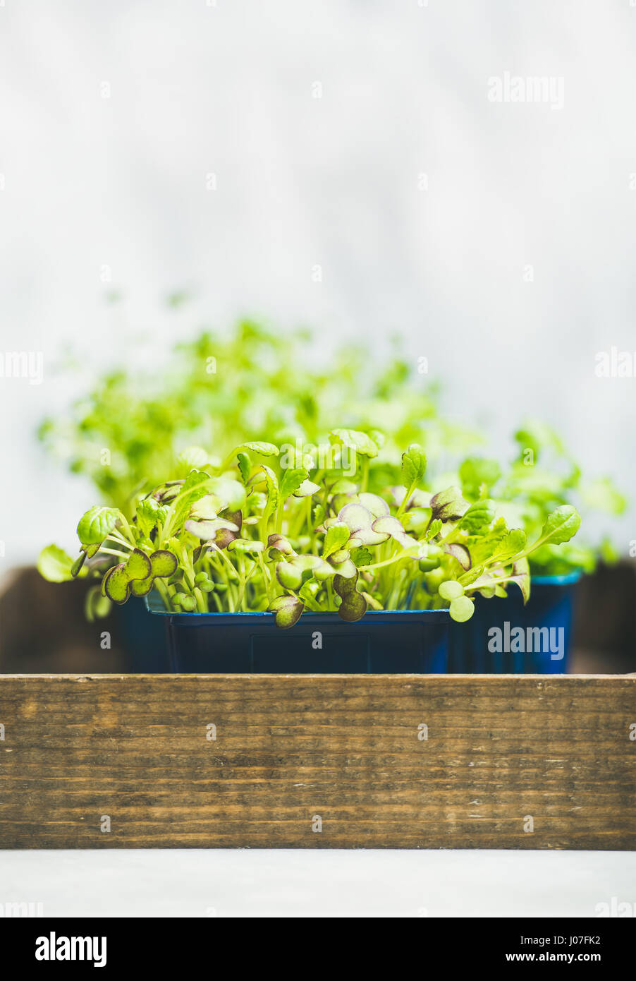 Fresh spring green live radish kress sprouts on wooden box - Stock Image