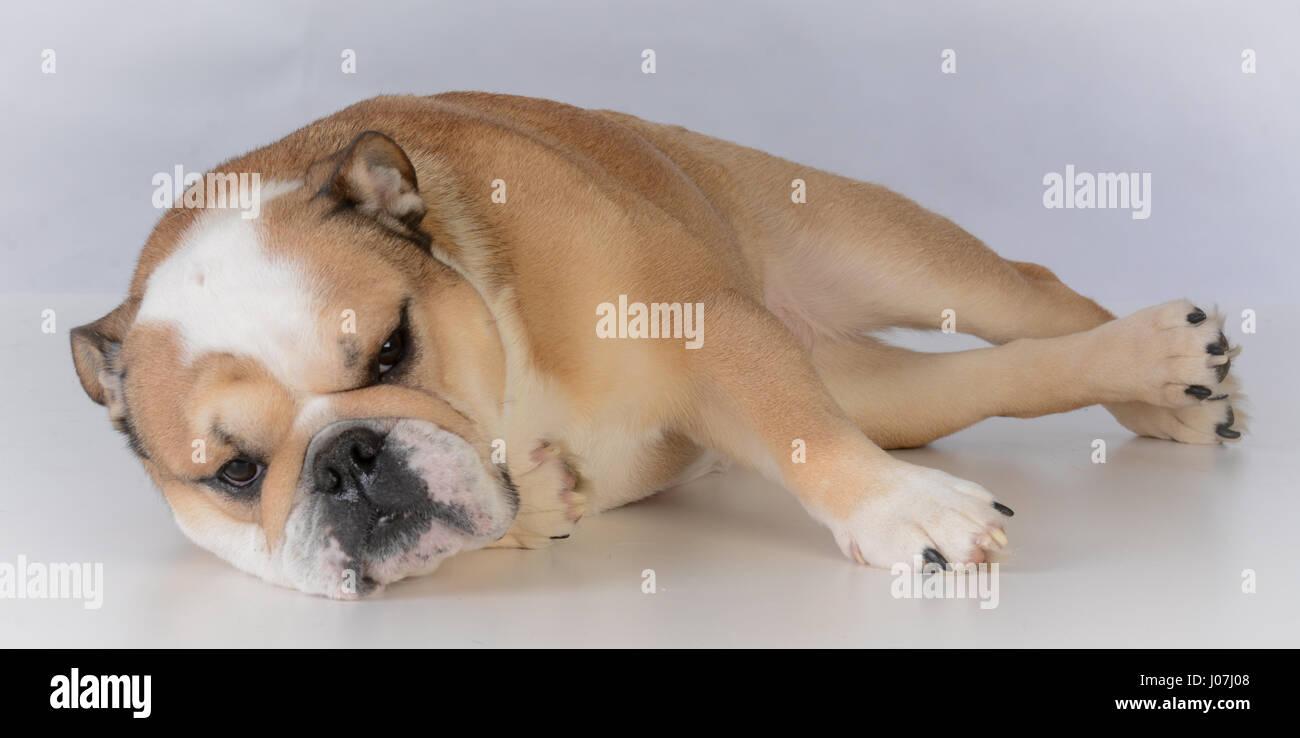 fawn coloured female bulldog portrait on grey background - Stock Image