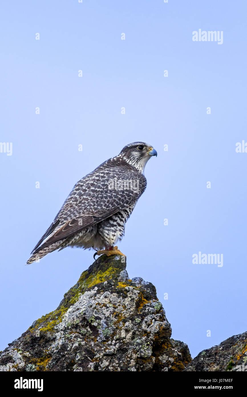 Gyrfalcon / gerfalcon (Falco rusticolus) perched on rock in winter Stock Photo