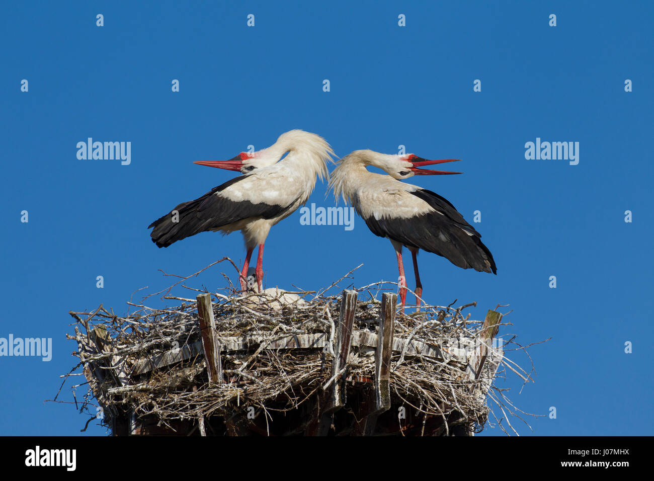 White stork (Ciconia ciconia) couple displaying on nest by bill-clattering and throwing their heads backwards - Stock Image