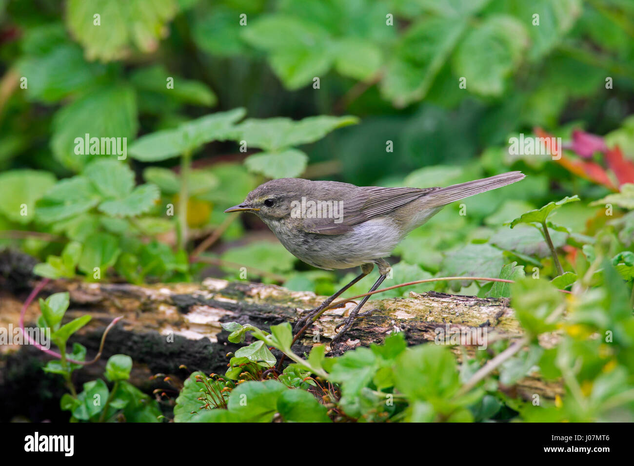 Willow warbler (Phylloscopus trochilus) perched on tree stump Stock Photo