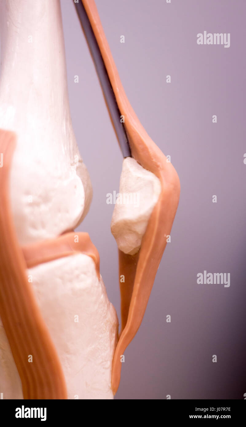 Knee and meniscus medical study student anatomy model showing bones ...