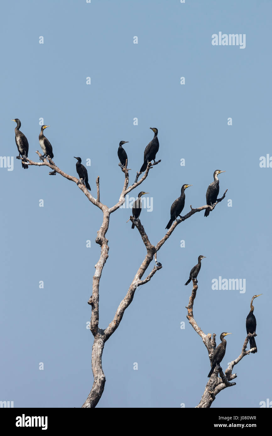 Oriental Darter (Anhinga melanogaster) and Little, Great and Indian Cormorant perching in tree - Stock Image