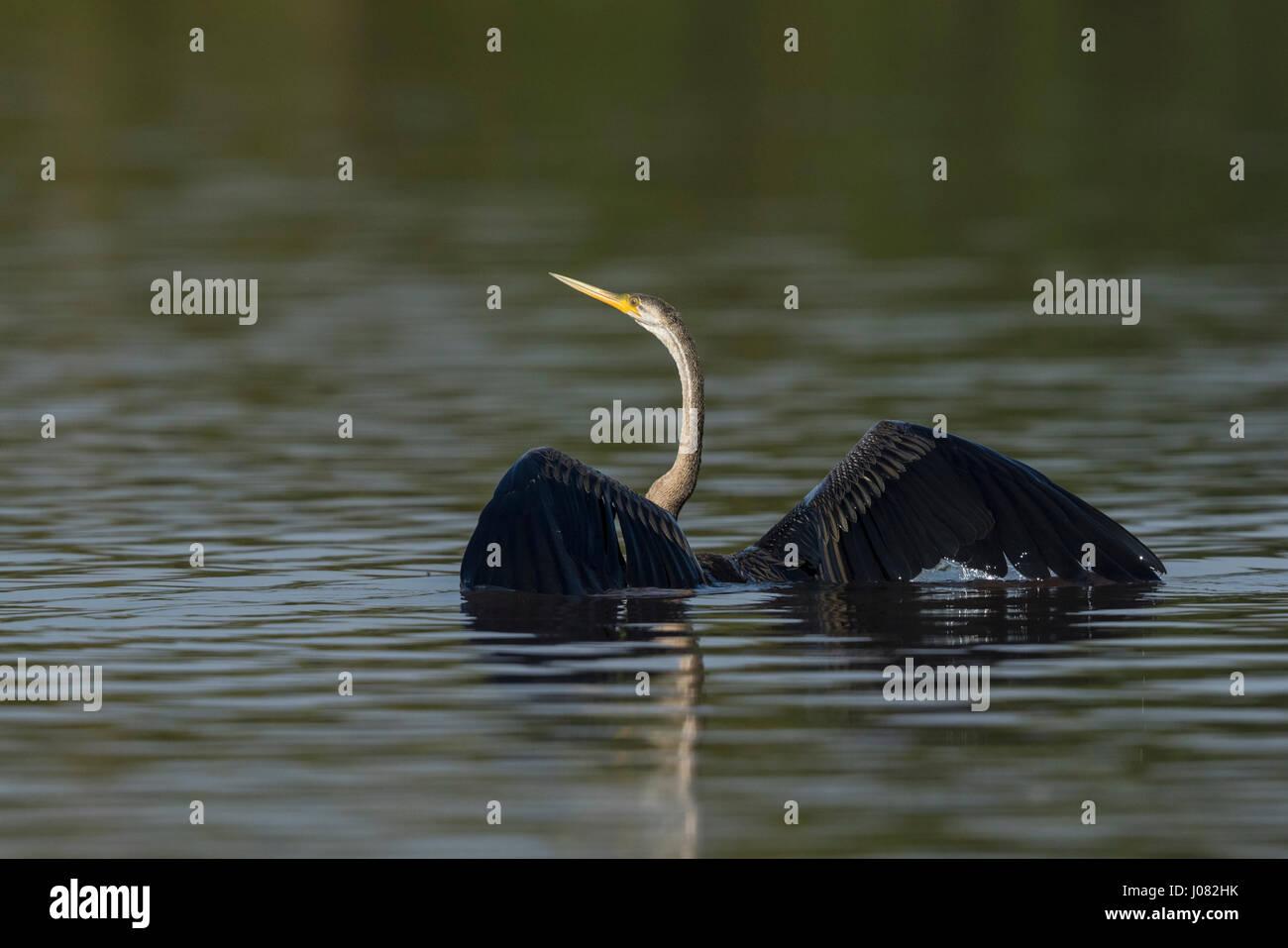 Oriental Darter (Anhinga melanogaster), Prek Toal, Tonle Sap, Cambodia - Stock Image