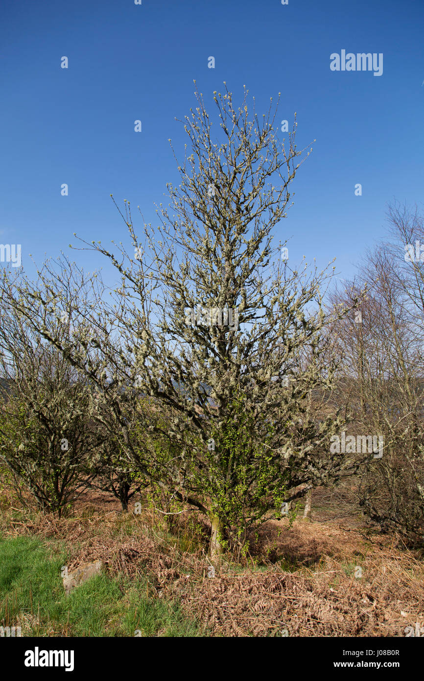Tree at Kielder Forest park iin Northumberland, England. The park runs around Kielder Lake. Stock Photo