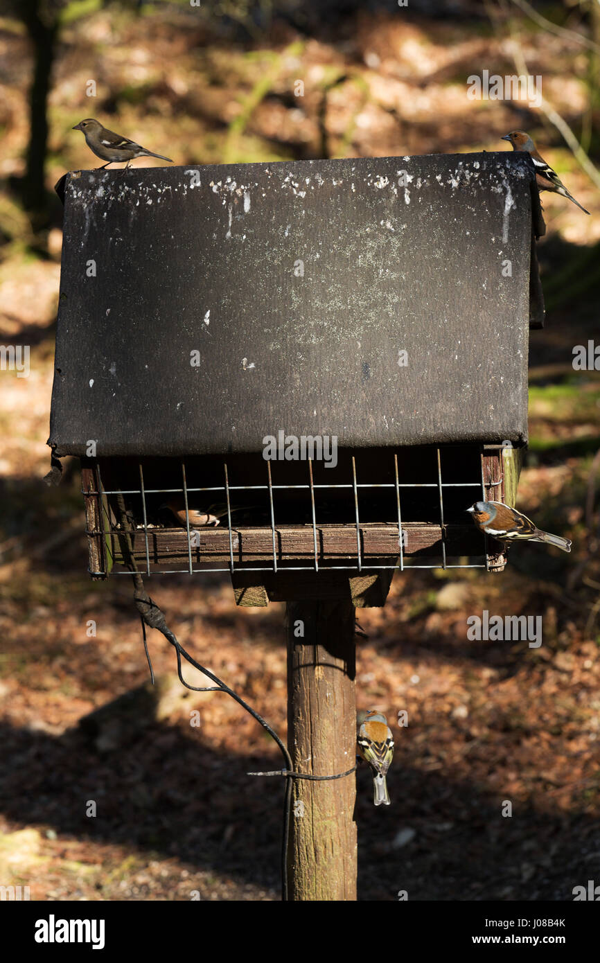 Common chaffinches (Fringilla coelebs) feed at a bird table in Kielder Forest Park in Northumberland, England. The - Stock Image