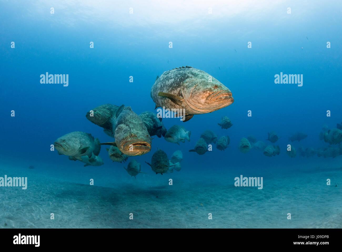 Atlantic goliath grouper Epinephelus itajara or Jewfish spawning aggregation - Stock Image