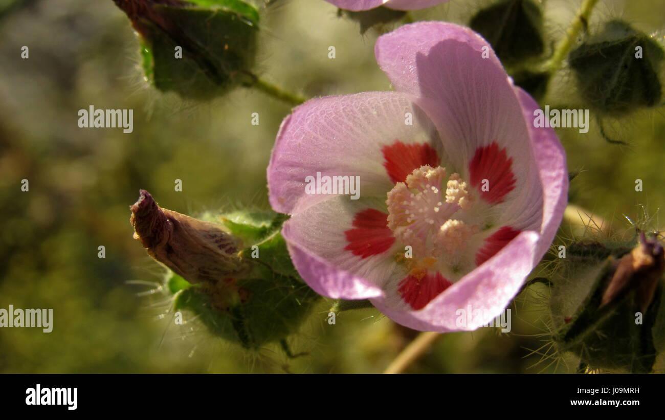 Desert five-spot - Eremalche rotudiflora flower purple with red spots desert flower of Southern California - Stock Image