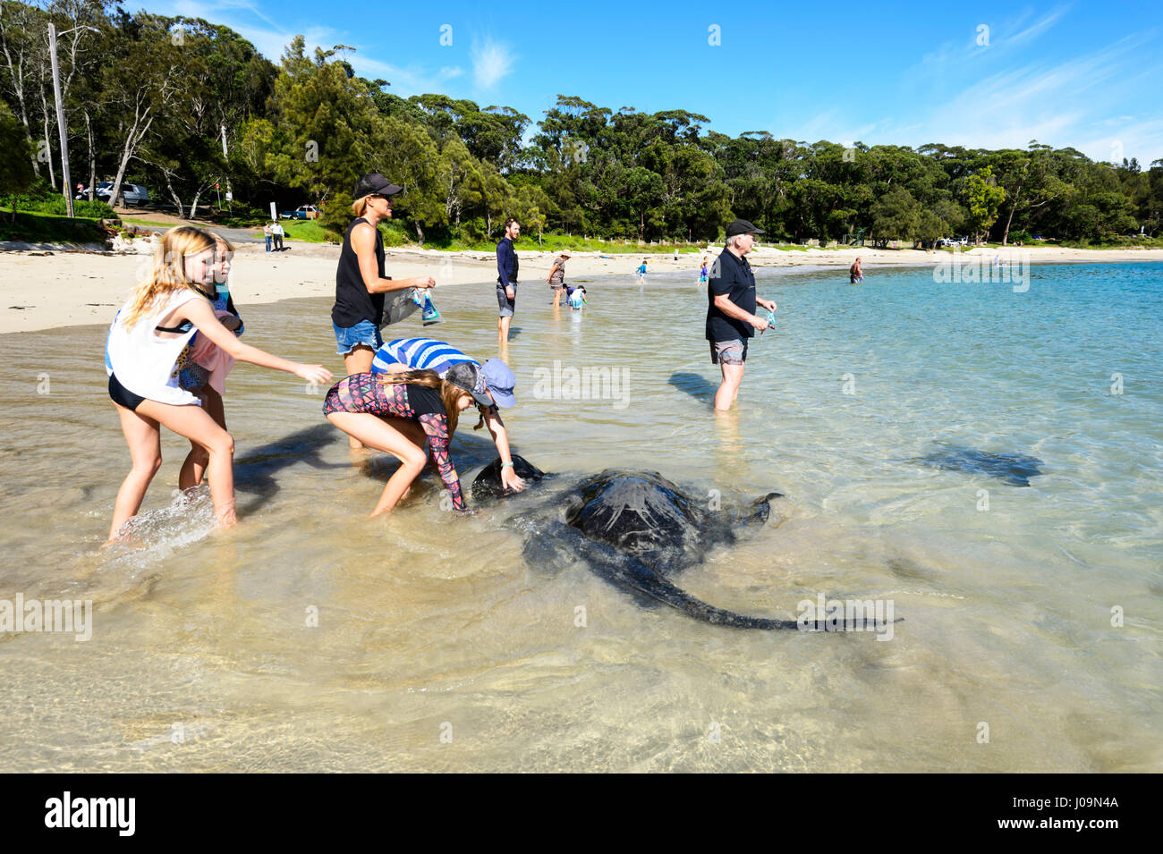 People feeding giant stingrays at Washerwoman's Beach, Bendalong Beach, Shoalhaven, South Coast, New South Wales, - Stock Image