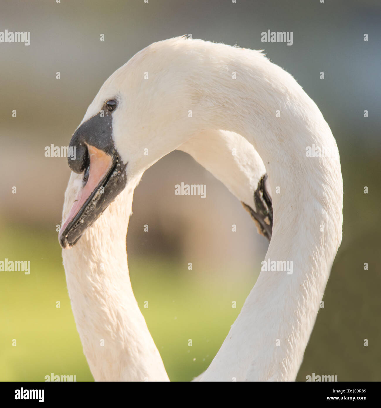 Mute swans making shape of heart with necks. Pair of swans (Cygnus olor)  forming heart-shaped space as part of Stock Photo
