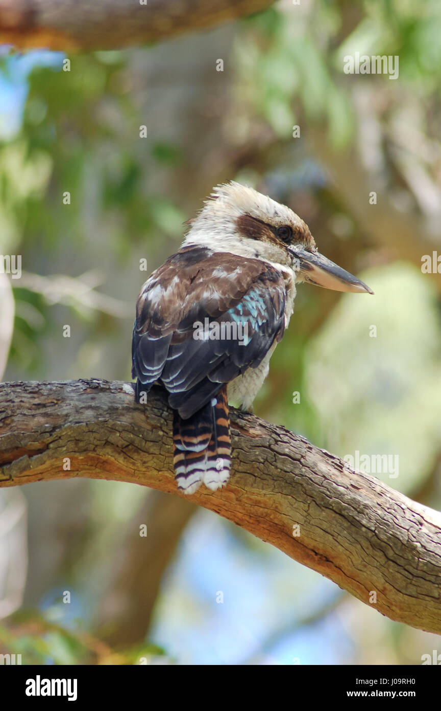 A wild Kookaburra (rear view) sitting on a tree branch. Primary and shallow focus on the bird with everything else - Stock Image