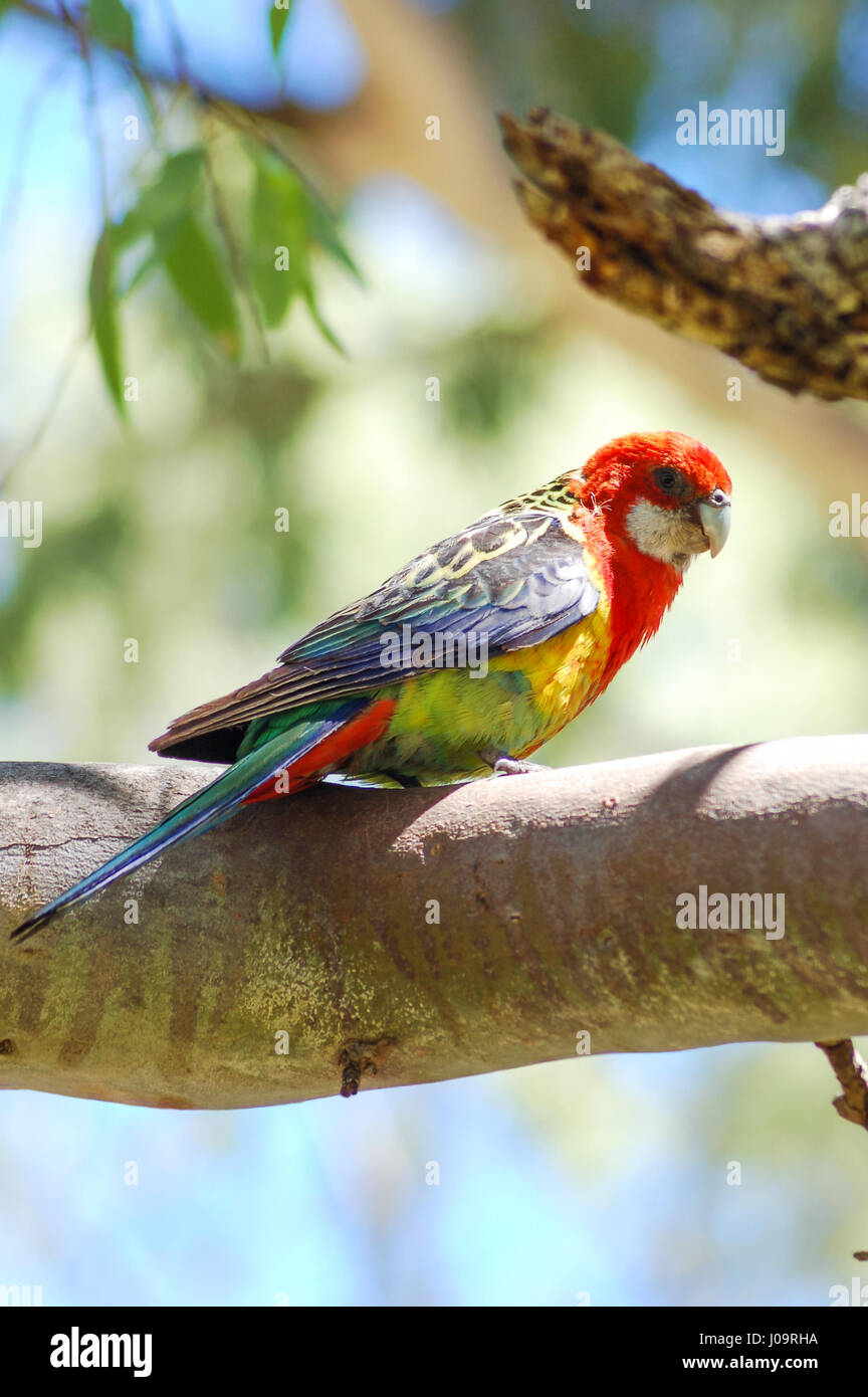 Wild Eastern Rosella (Platycercus Eximius) sitting on a tree branch with shallow focus on just the bird leaving - Stock Image