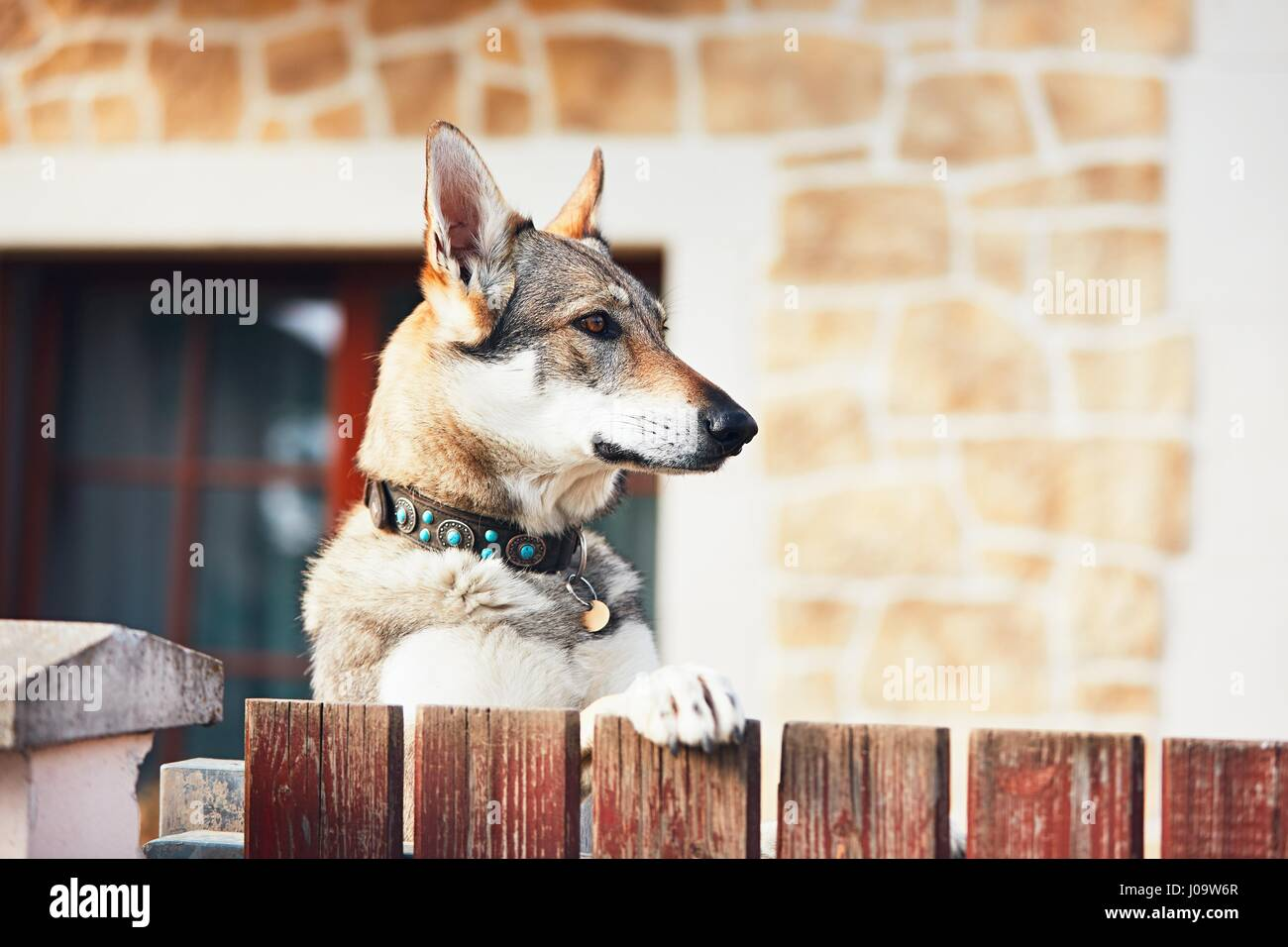 Beware of the dog. Czechoslovakian wolfdog behind the fence of the house. - Stock Image