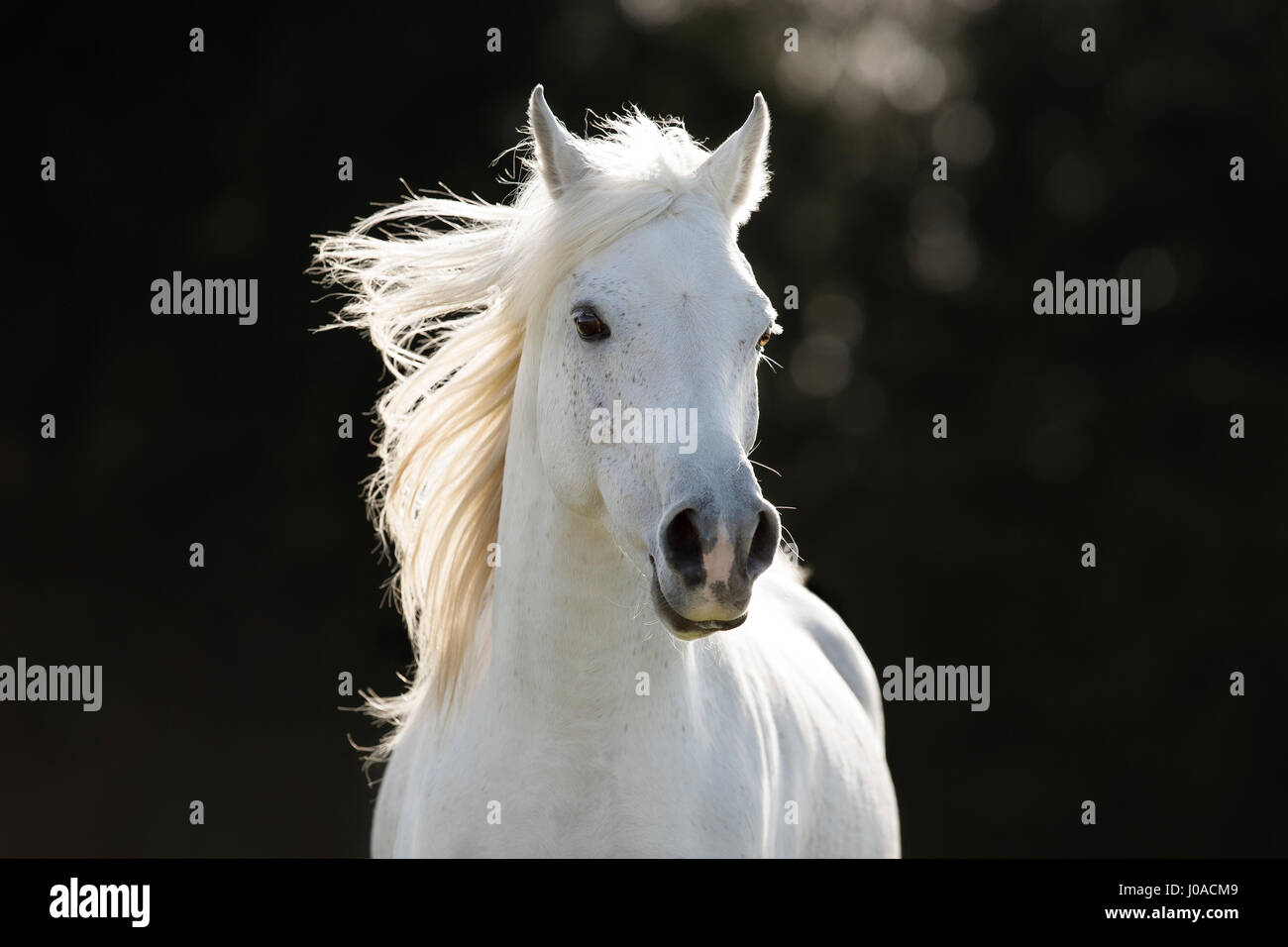 White Arabian stallion galloping, portrait - Stock Image