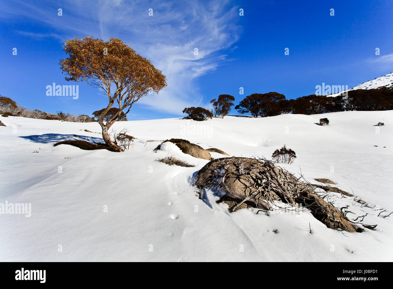 Hillslops of Snowy Mountains national park skiing resorts in Australia, NSW. Snowgum eucalyptus tree with roots - Stock Image