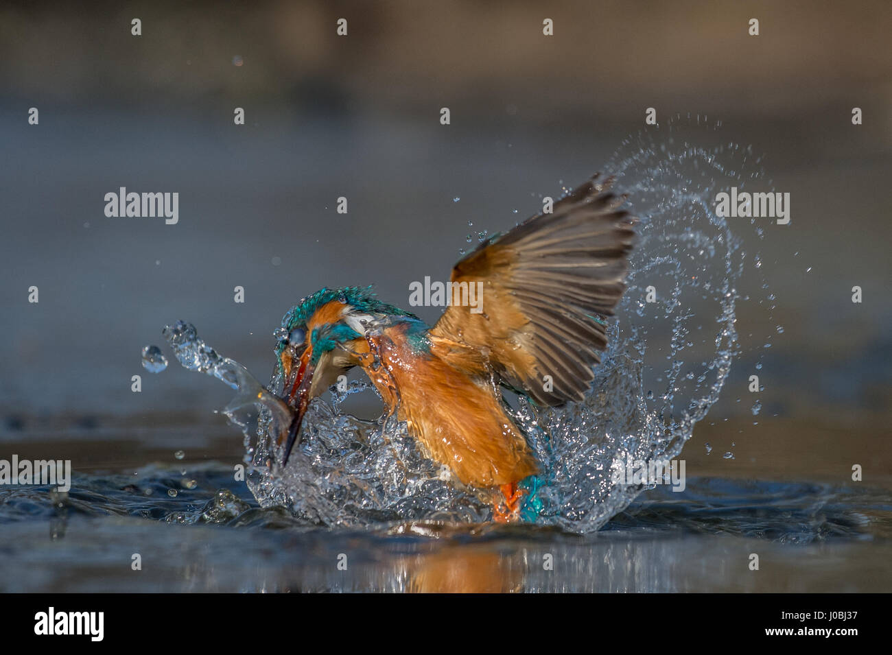TORREVECCHIA PIA, ITALY: A SPRITELY kingfisher has been snapped having the time of its life frolicking in cool water. - Stock Image