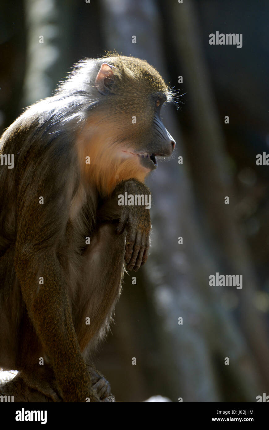 Really cute profile of a baby mandrill monkey stock image