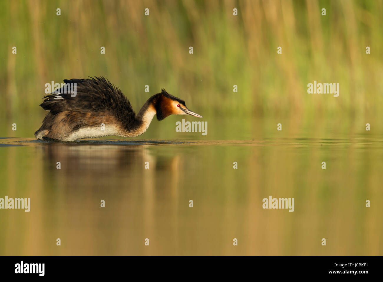 Great Crested Grebe / Haubentaucher ( Podiceps cristatus ) shaking water out off its plumage, natural lake, late - Stock Image