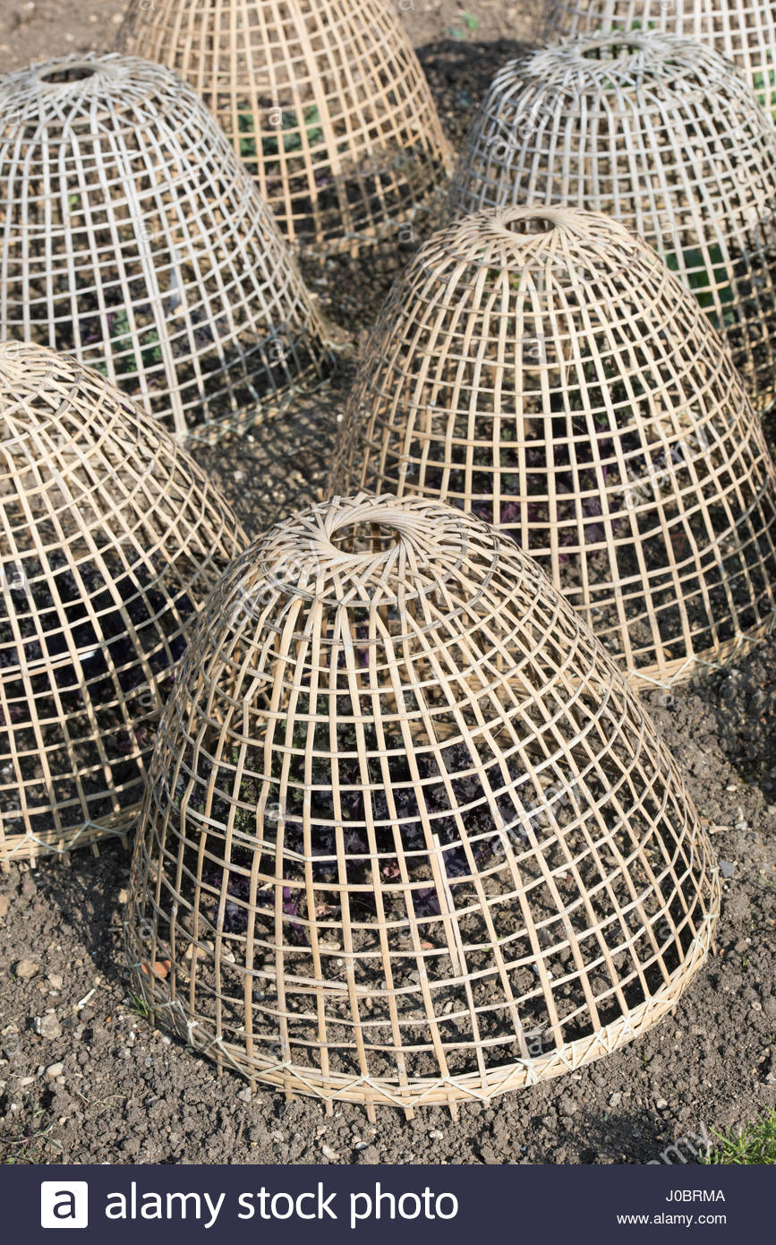 Weaved bamboo cloches protecting green leaf vegetables from frost, wind  chill and being eaten in a vegetable garden. - Stock Image
