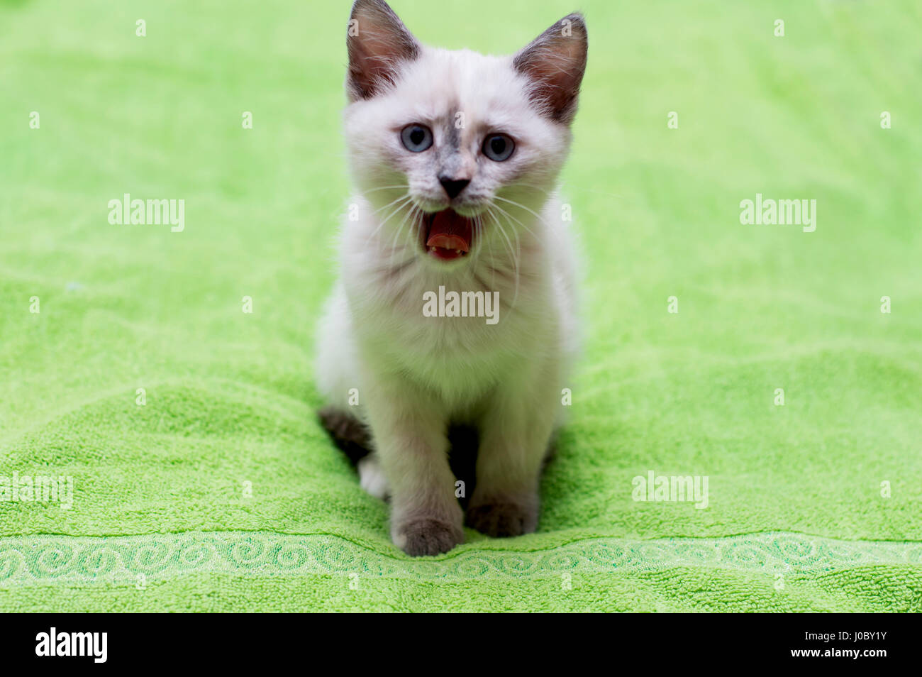 the kitten growls as a lion, a subject beautiful kittens - Stock Image