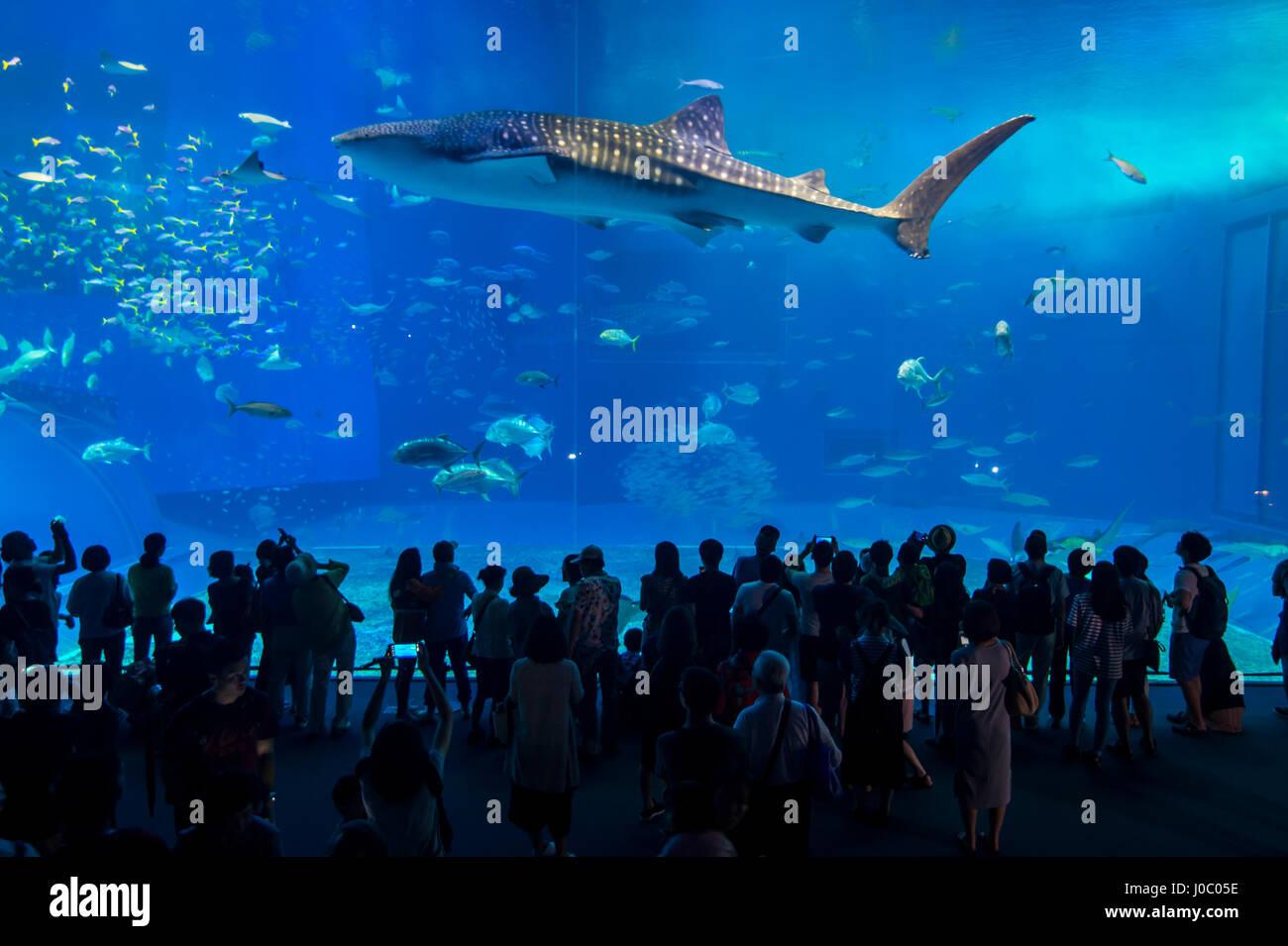 Whaleshark in the Churaumi Aquarium, Ocean Expo Park, Okinawa, Japan, Asia - Stock Image