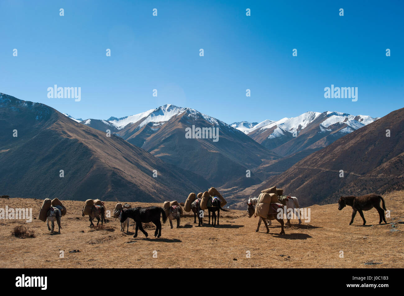 Pack horses cross a small pass near Goyul along the Lasa to Gasa trekking route, Bhutan, Himalayas, Asia - Stock Image