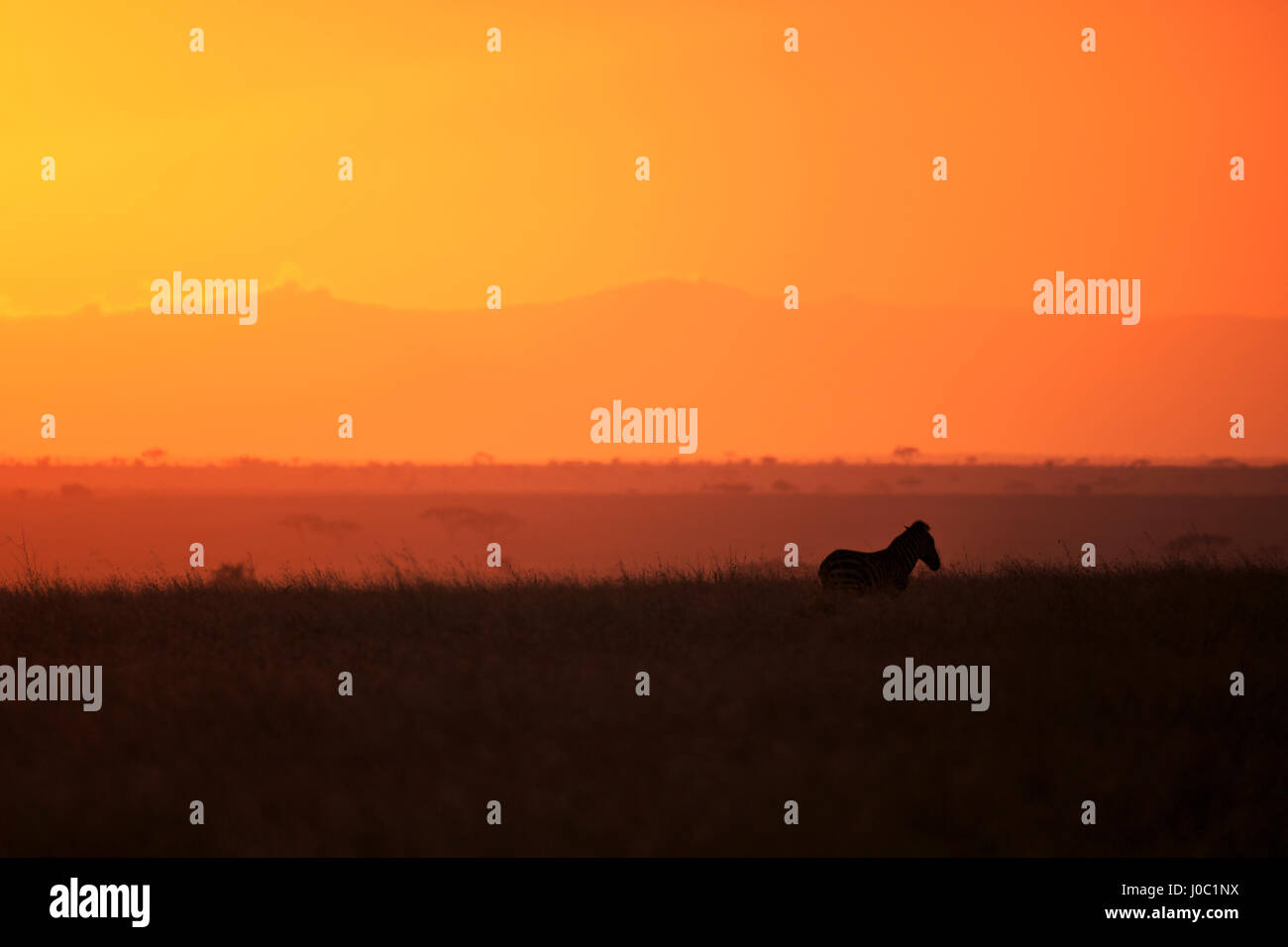 Burchell's zebra at sunrise (Equus quagga), Serengeti National Park, Tanzania - Stock Image