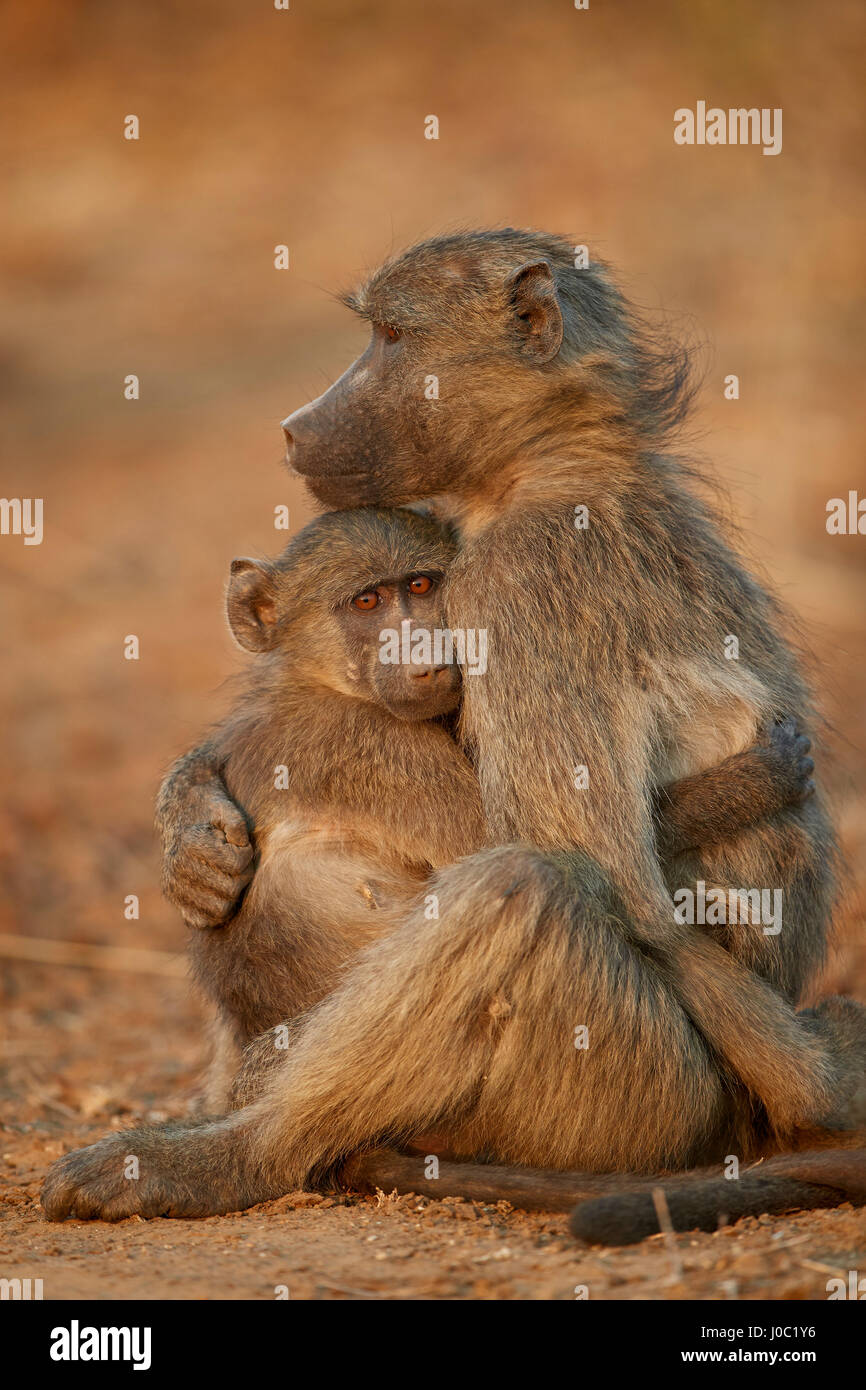 Chacma baboon (Papio ursinus) comforting a young one, Kruger National Park - Stock Image