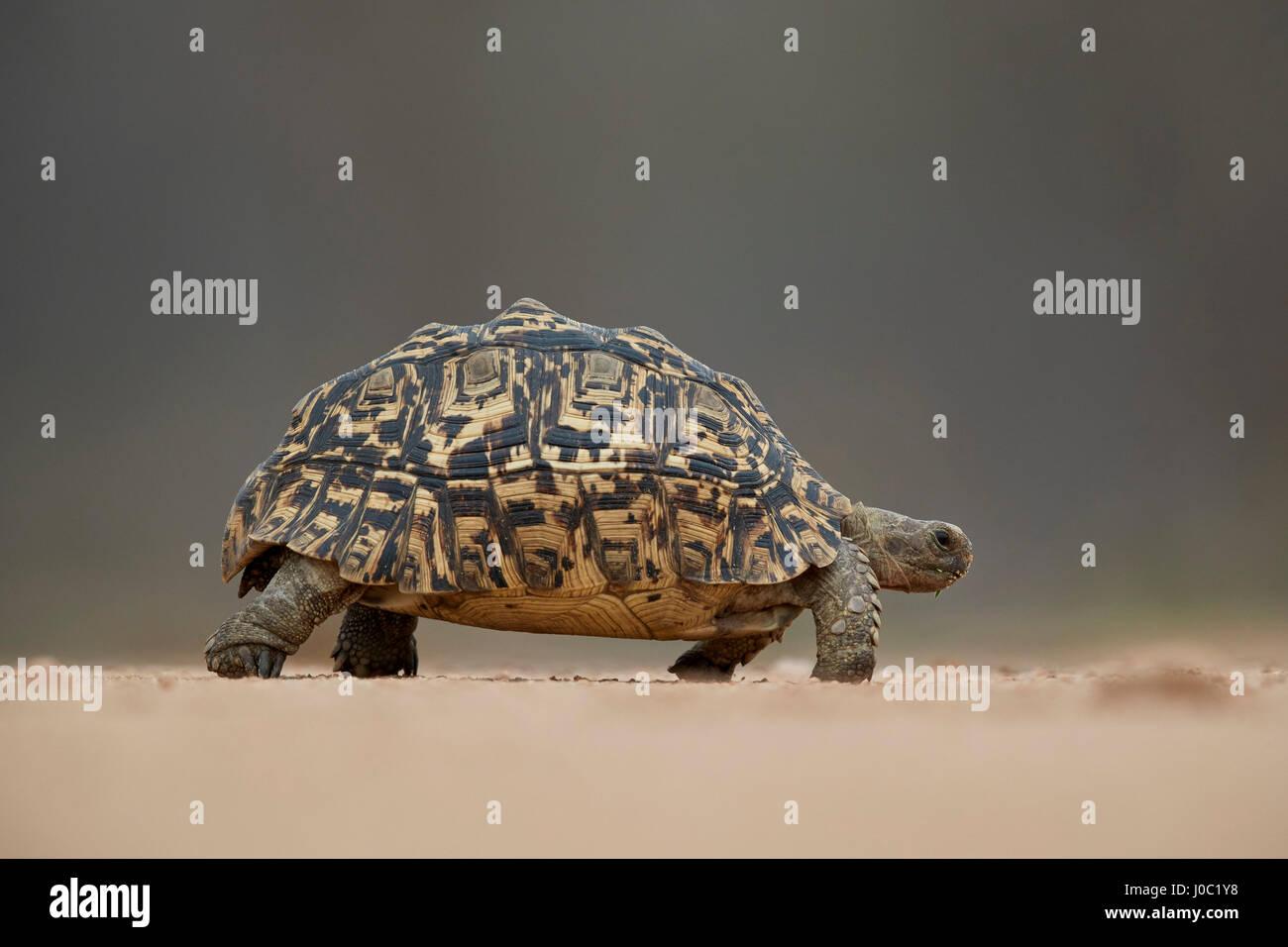 Leopard tortoise (Geochelone pardalis), Kruger National Park Stock Photo