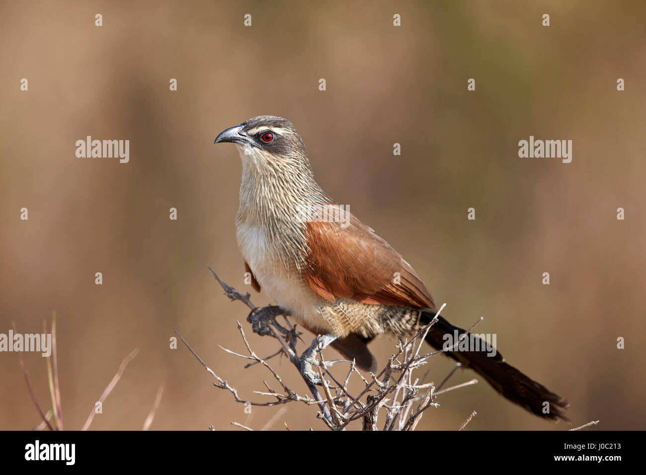White-browed coucal (Centropus superciliosus), Selous Game Reserve, Tanzania - Stock Image