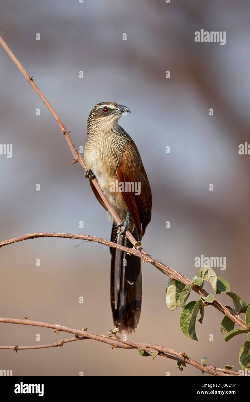 White-browed coucal (Centropus superciliosus), Ruaha National Park, Tanzania - Stock Image