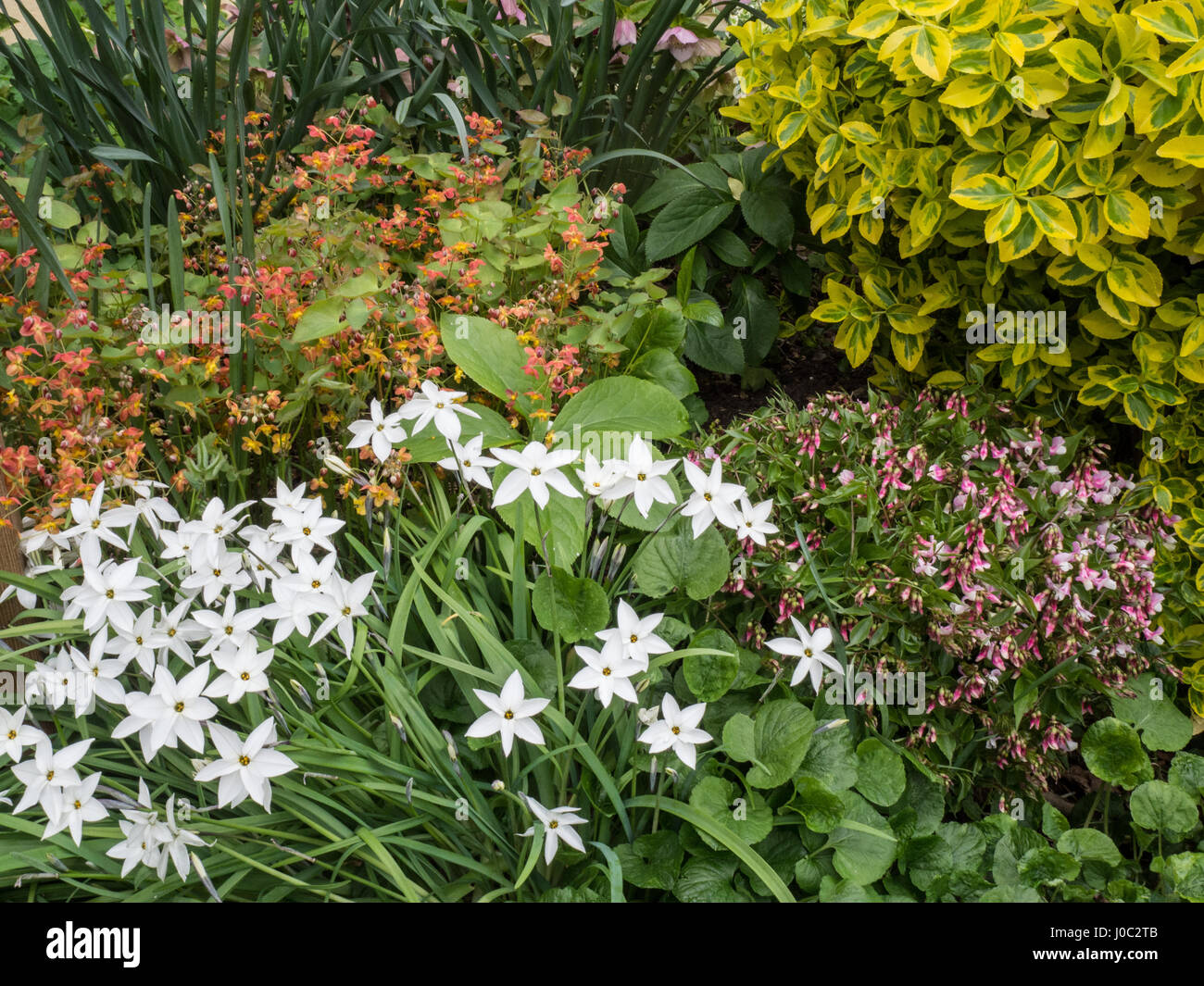Grouping of spring flowering perennials in a border - Stock Image